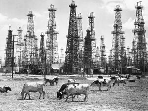 Cows Grazing near Oil Wells