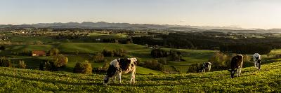 Cows in Front of the Alpine Upland Near ArgenbŸhl, Baden-WŸrttemberg-Markus Leser-Photographic Print