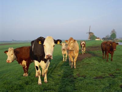Cows on a Polder in the Early Morning, with a Windmill in the Background, in Holland, Europe-Groenendijk Peter-Photographic Print