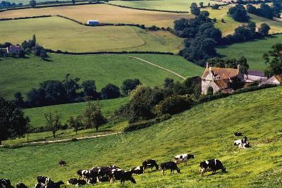 Cows on Hillside-Design Pics Inc-Photographic Print