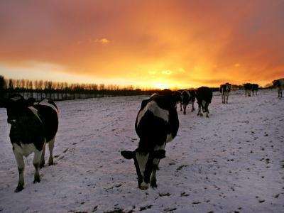 Cows Walk in a Snow Covered Field as Sunset Falls--Photographic Print