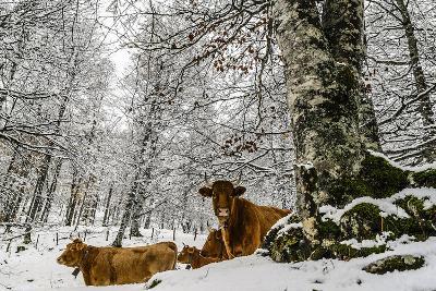 Cows-Tilyo Rusev-Photographic Print