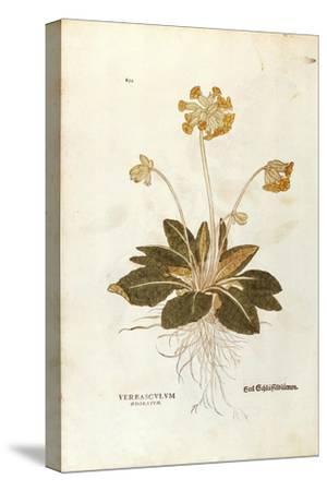 Cowslip - Primula Veris Officinalis (Verbasculum Odoratum) by Leonhart Fuchs from De Historia Stirp