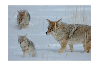 Coyote and Cubs-Lantern Press-Art Print