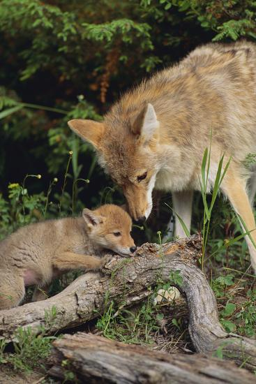 Coyote and Her Pup-DLILLC-Photographic Print
