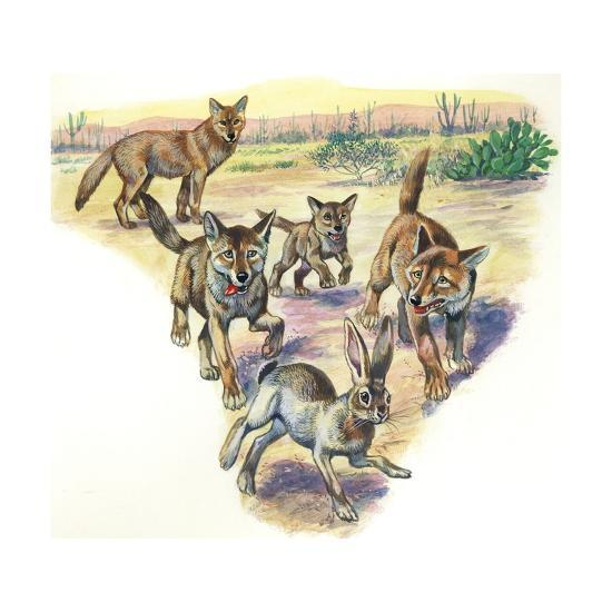 Coyote (Canis Latrans) and Pups Hunting Hare--Giclee Print