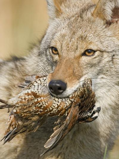 Coyote (Canis Latrans) with Bobwhite Quail Prey in its Mouth, North America-Steve Maslowski-Photographic Print