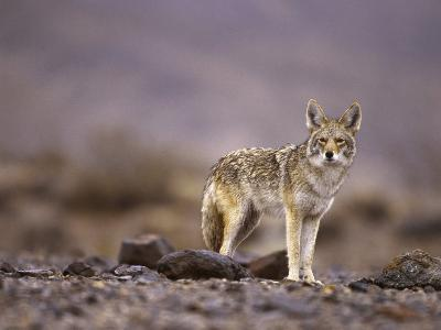 Coyote, Canis Latrans-Roger Holden-Photographic Print