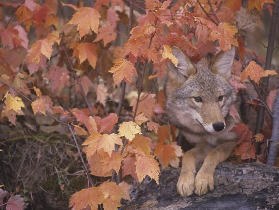 Coyote Hunting from a Sheltered Site Among Fall Leaves (Canis Latrans), North America-Tom Walker-Photographic Print