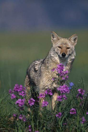 Coyote in Field with Wildflowers-DLILLC-Photographic Print