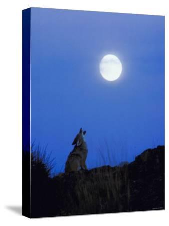 Coyote in Nature Howling at Full Moon