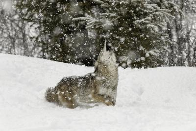 https://imgc.artprintimages.com/img/print/coyote-in-snow-montana_u-l-q1d1ggb0.jpg?p=0