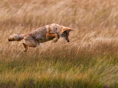 Coyote Leaping - Gibbon Meadows-Photo by DCDavis-Photographic Print