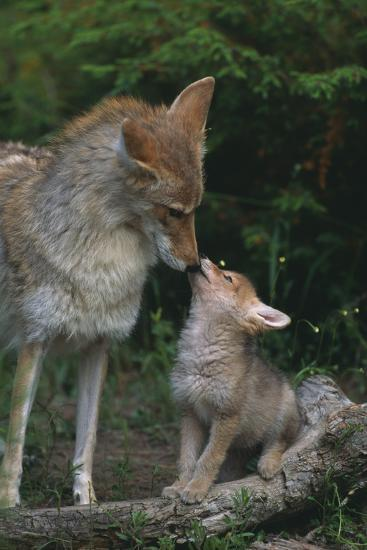 Coyote Mother and Pup-DLILLC-Photographic Print