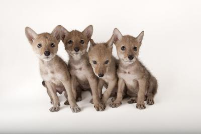Coyote Puppies, Canis Latrans-Joel Sartore-Photographic Print