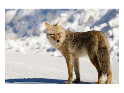 Coyote Spray Lakes Alberta--Art Print