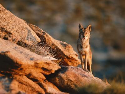Coyote Stands on Rock Ledge-Jeff Foott-Photographic Print