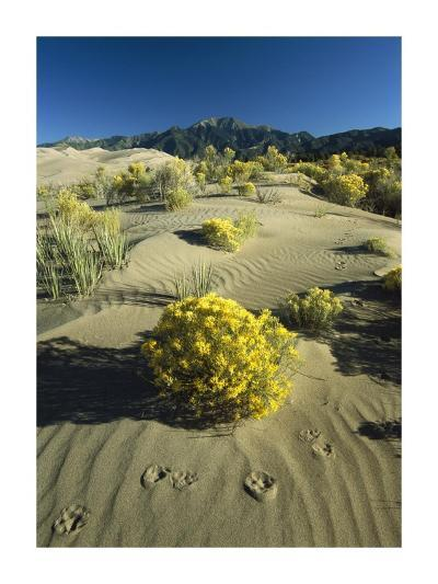 Coyote tracks and flowering shrubs, Great Sand Dunes, Colorado-Tim Fitzharris-Art Print