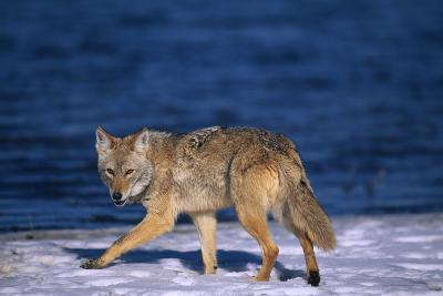 Coyote Walking in Snow next to Water-DLILLC-Photographic Print