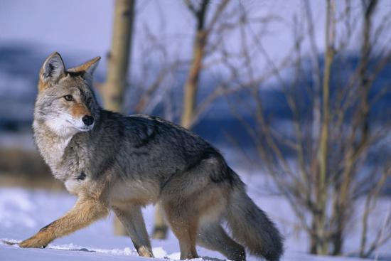Coyote Walking in Snow-DLILLC-Photographic Print