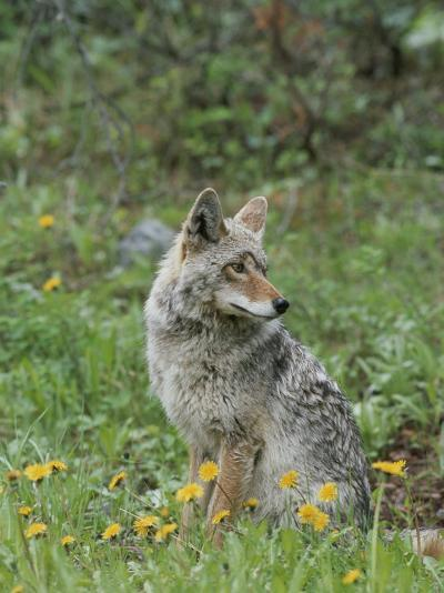 Coyote with Wildflowers-Norbert Rosing-Photographic Print