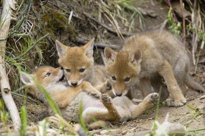 Coyote Young Wild Pups Playing Near their Den--Photographic Print