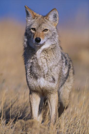 Coyote-DLILLC-Photographic Print