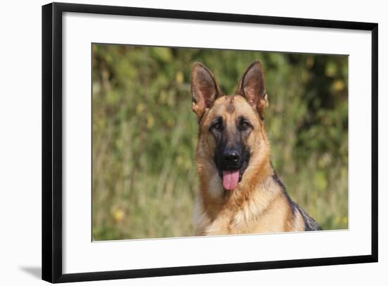 CQ2R4322 Shepherd German-Bob Langrish-Framed Photographic Print