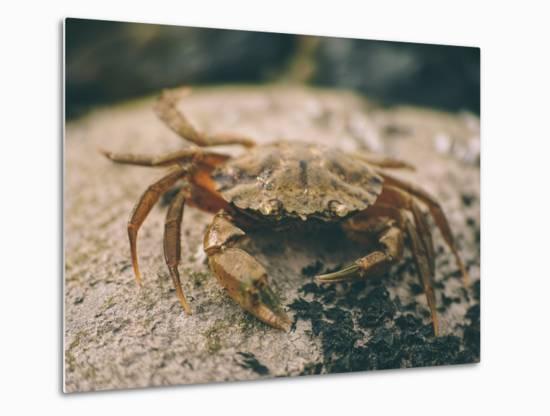 Crab at Seaside-Clive Nolan-Metal Print
