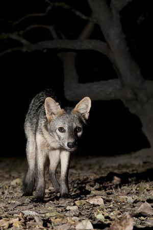 Crab-Eating Fox (Cerdocyon Thous) Foraging at Night, Mato Grosso, Pantanal, Brazil. July-Ben Cranke-Photographic Print