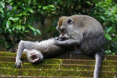 Crab-Eating Macaque (Macaca Fascicularis) Grooming. Bali, Indonesia-Sandesh Kadur-Photographic Print