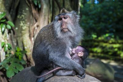Crab-Eating Macaque (Macaca Fascicularis) Mother with Baby, Monkey Forest, Ubud, Bali, Indonesia-Michael Runkel-Photographic Print