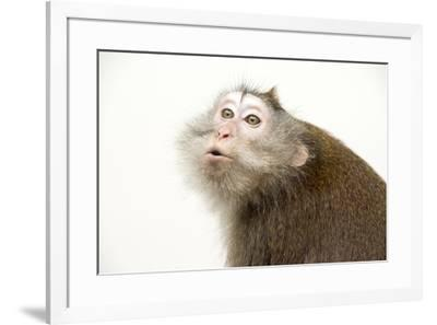 Crab eating macaque or long tailed macaque, Macaca fascicularis, at the Singapore Zoo.-Joel Sartore-Framed Photographic Print