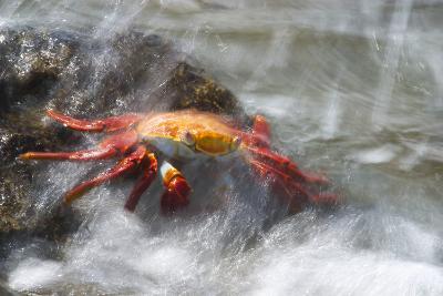 Crab Getting Splashed-DLILLC-Photographic Print