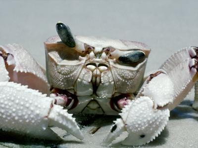 Crab, Shows Independent Eye Movement-Victoria Stone & Mark Deeble-Photographic Print