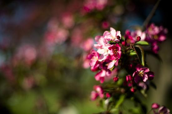 Crabapple Blooms-Beth Wold-Photographic Print