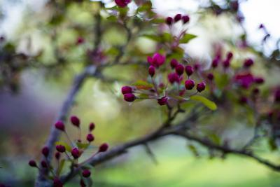 Crabapple Buds-Beth Wold-Photographic Print