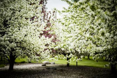 Crabapple in Spring I-Beth Wold-Photographic Print