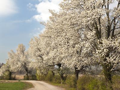 Crabapple Trees in Full Bloom, Louisville, Kentucky, Usa-Adam Jones-Photographic Print