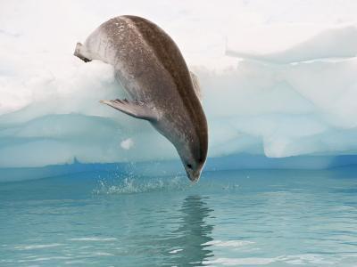 Crabeater Seal Diving into Water from an Iceberg, Pleneau Island, Antarctic Peninsula, Antarctica-James Hager-Photographic Print
