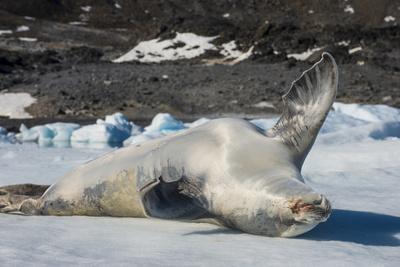 https://imgc.artprintimages.com/img/print/crabeater-seal-lobodon-carcinophaga-carcinophagus-lies-on-its-back-on-an-ice-floe-in-hope-bay_u-l-q1brpih0.jpg?p=0