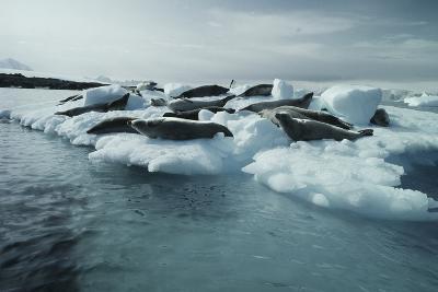 Crabeater Seals-Doug Allan-Photographic Print