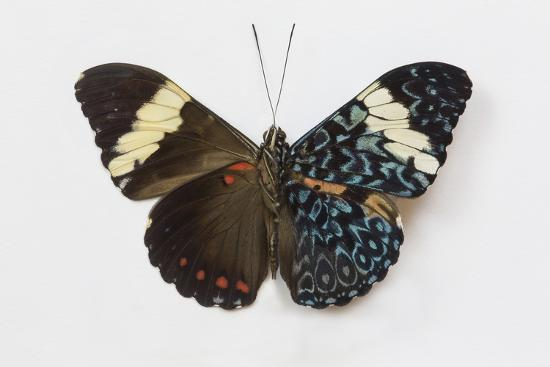 Cracker Butterfly or the Arinome Cracker, Comparison of Wings-Darrell Gulin-Photographic Print