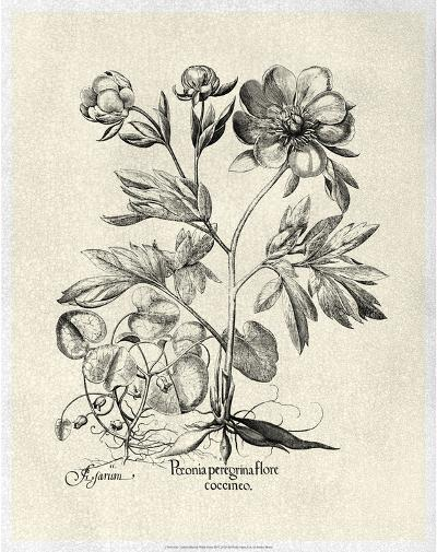 Crackled B&W Besler Peony III-Besler Basilius-Art Print
