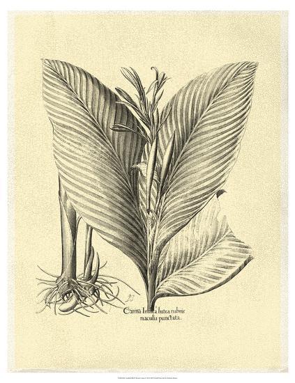 Crackled Besler Canna-Besler Basilius-Art Print