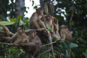 Troupe of Stump-Tailed Macaques (Macaca Arctoices) by Craig Lovell