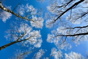 Low View of Tall Trees Under Blue Sky in Winter by Craig Roberts