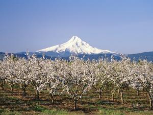 Apple Blossoms Against Mt. Hood by Craig Tuttle