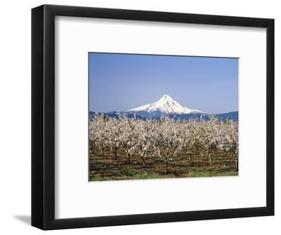 Apple Blossoms Against Mt. Hood