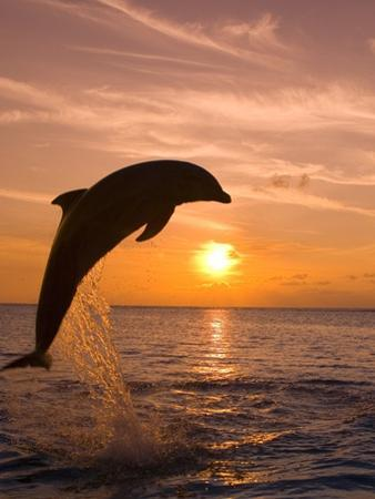 Bottlenosed Dolphin Leaping at Sunset by Craig Tuttle